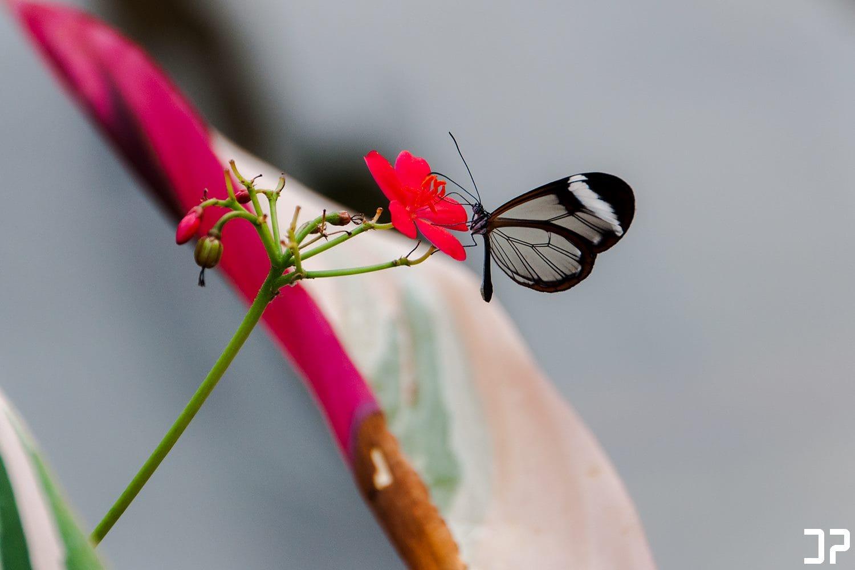 Prachtige vlinder in vlindertuin Amazonica van Diergaarde Blijdorp