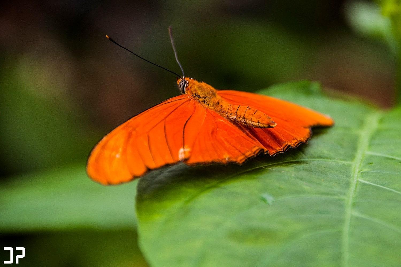 Een schitterende, oranje gekleurde vlinder in vlindertuin Amazonica van Diergaarde Blijdorp